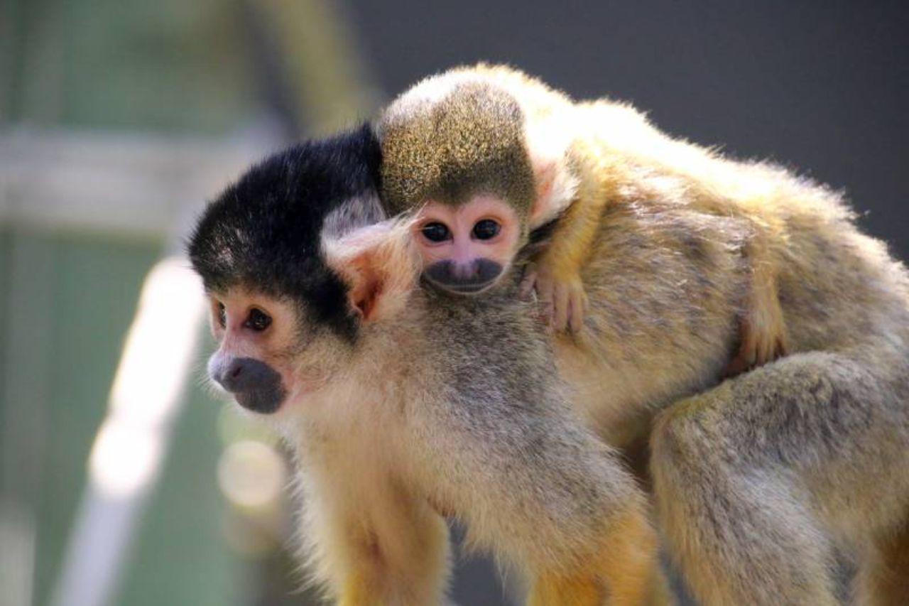 bolivian squirrel & baby