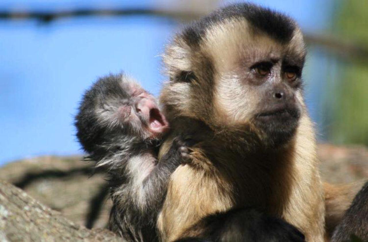 capuchin mama with newborn