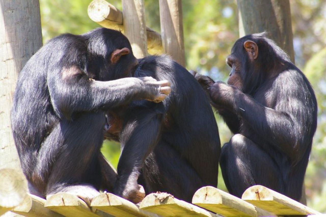 chimp sisters